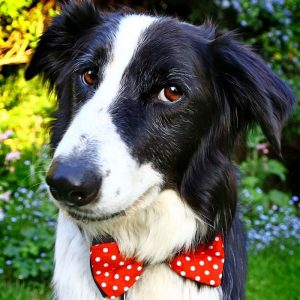 Pet Bow Tie | Suck UK - Gifts For Dog Lovers