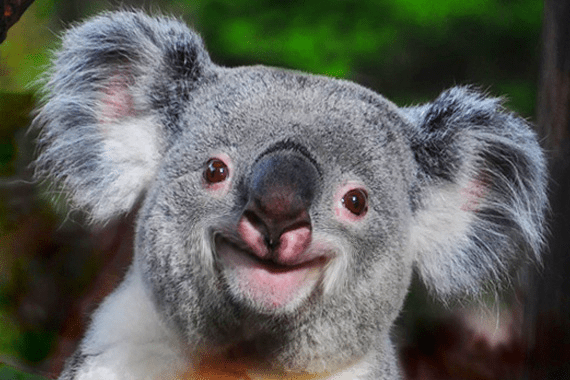 50 cute amp cuddly koala pictures