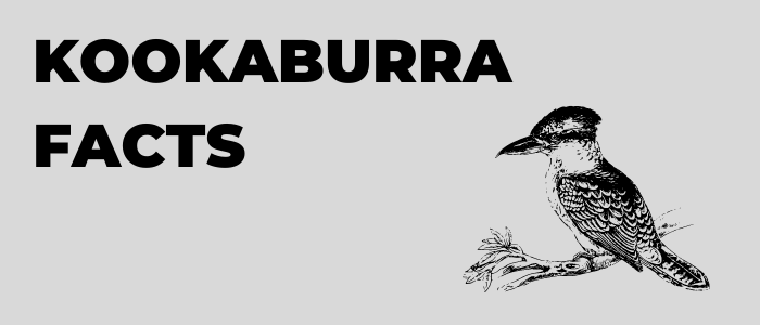 yellow-octopus-kookaburra-facts